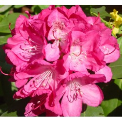 RHODODENDRON PEARCE'S AMERICAN BEAUTY C5